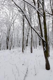 Een groot aantal kale loofbomen in het winterseizoen, de bomen zijn bedekt met sneeuw na vorst en sneeuwval, sneeuwbanken in het park of winterbos, er zullen voetafdrukken in de sneeuw zijn Premium Foto