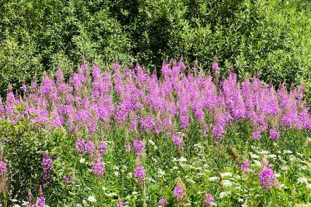 Een groot aantal roze bloemen op een achtergrond van groen gras en bomen, zomer