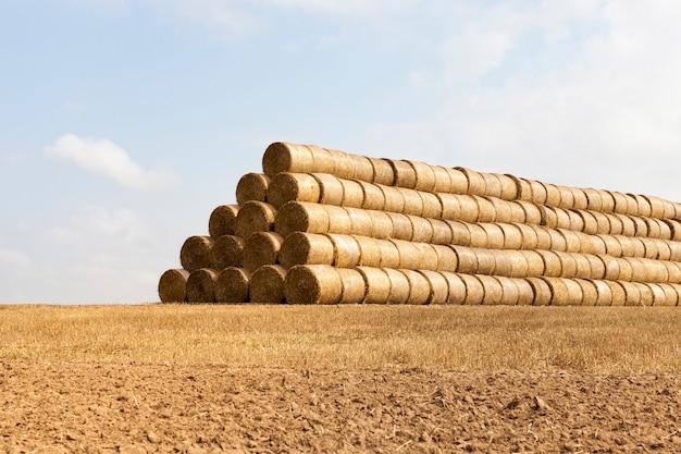 Een groot aantal stapels stro gestapeld in grote rijen voor opslag voor de winter