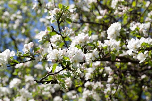 Een groot aantal witte en roze appelbloesems op een achtergrond van groen, appelboom en blauwe hemel, de lentespecifieke aard, close-up