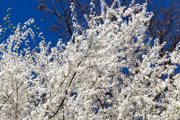 Een groot aantal witte kersenbloemen op de takken van kersen, lenteboomgaard met aangename geuren