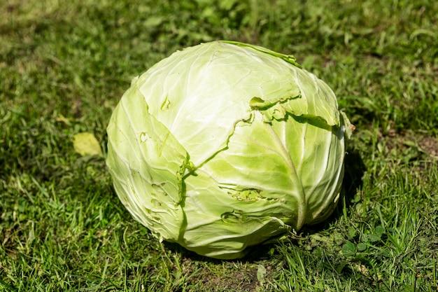 Een groot hoofd van verse kool op het gras in de tuin op een zonnige dag. vitaminen en gezonde voeding.