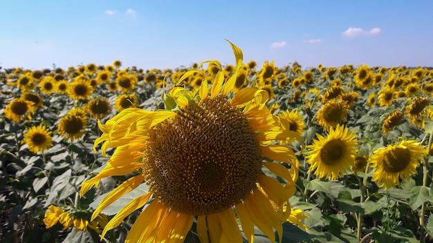 Een groot veld met zonnebloemen en op de voorgrond de grootste zonnebloem. blauwe lucht op de achtergrond
