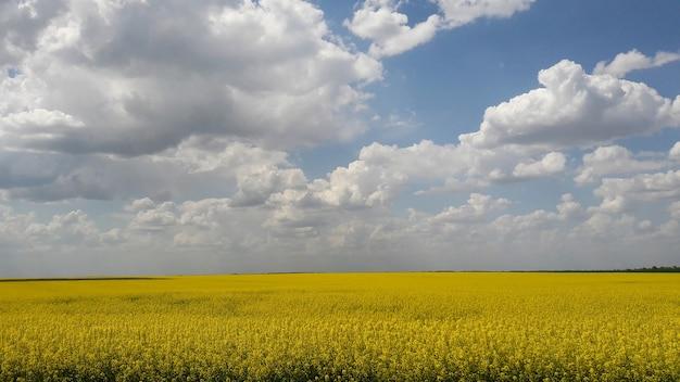 Een groot veld tot aan de horizon gezaaid met gele koolzaad tegen een helderblauwe lucht met wolken