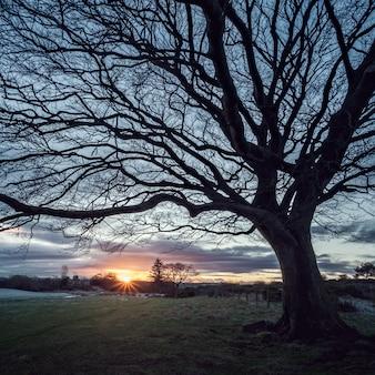 Een grote boom bij zonsondergang in het veld en de stralen van de zon in de stad glasgow, schotland