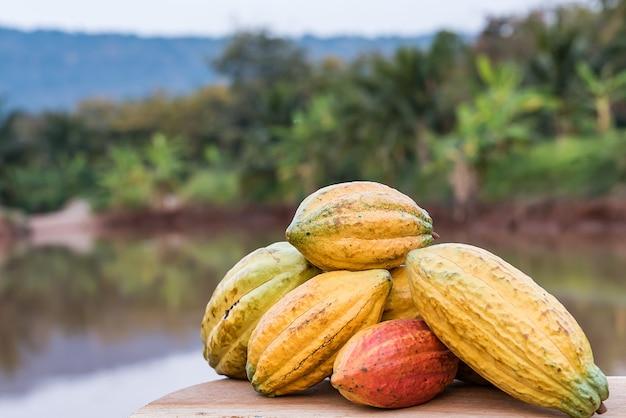 Een grote bos kleurrijke cacaopeulen. criollo, forastero, trinitario, verschillende soorten cacaobonen die net van de boom zijn geoogst