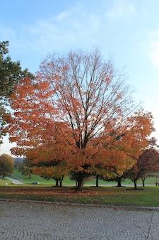 Een grote brede boom met rode bladeren in het midden van het park tijdens de herfst
