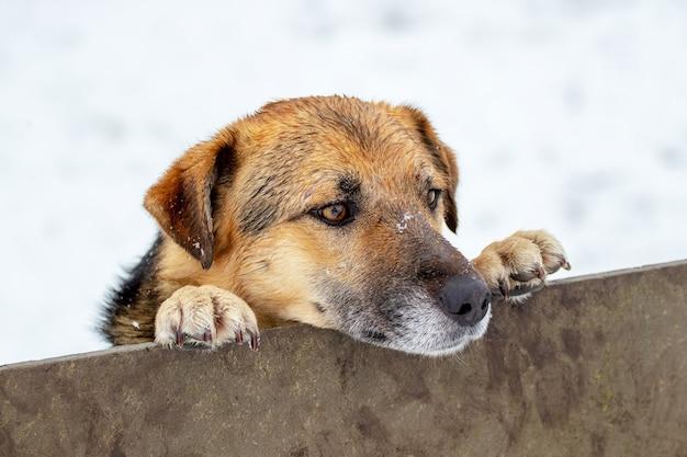 Een grote bruine hond gluurt in de winter achter een hek vandaan