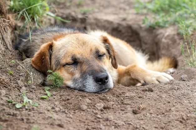 Een grote bruine hond ligt in een gegraven kuil