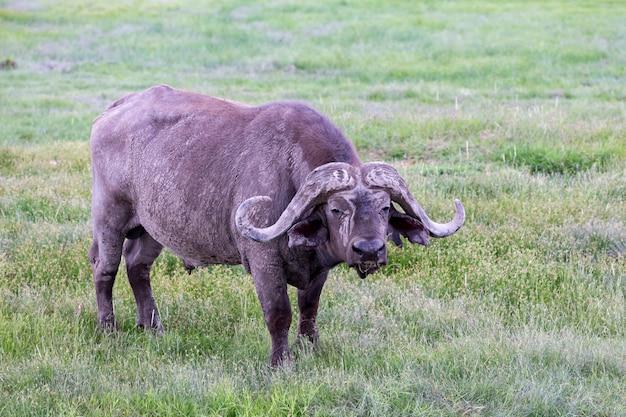 Een grote buffel in het grasland van de savanne