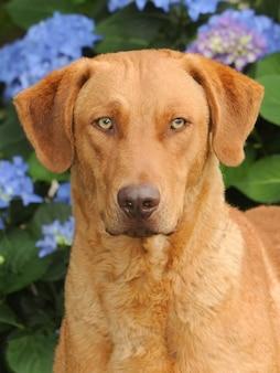 Een grote chesapeake bay retriever-hond in een tuin met bloeiende hortensia's