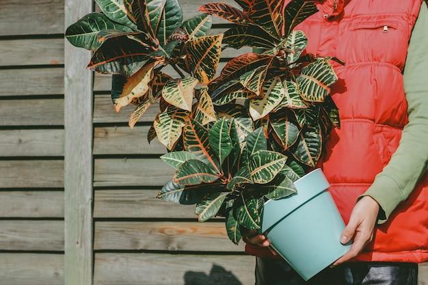 Een grote croton-plant in handen van een man. natuurlijke houten achtergrond