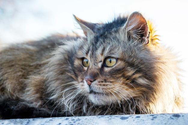 Een grote donzige kat op straat kijkt opzij