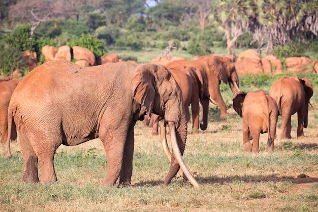 Een grote familie rode olifanten op weg door de keniaanse savanne