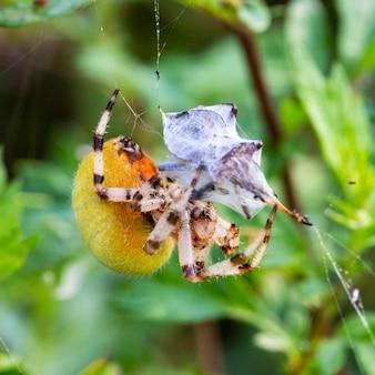 Een grote gele vrouwelijke araneus spin in een web met prooi. succesvol jagen en spinnenvoer. enge spin voor halloween