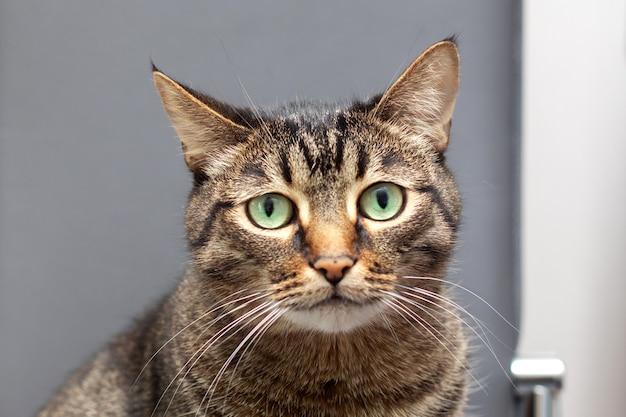Een grote gestreepte raszuivere kat