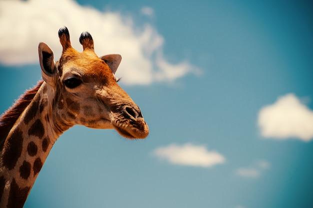 Een grote gewone zuid-afrikaanse giraf aan de zomerblauwe lucht