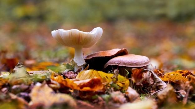 Een grote giftige paddenstoel in het bos tussen de gevallen bladeren