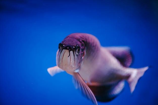 Een grote glanzende roze vis. scleropages jardini.
