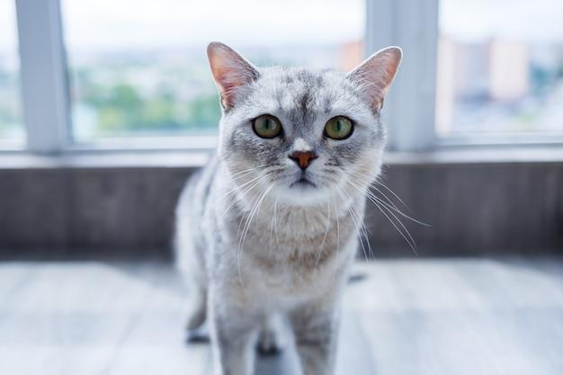 Een grote grijze pluizige kat ligt op de vloer. het concept van huisdieren.