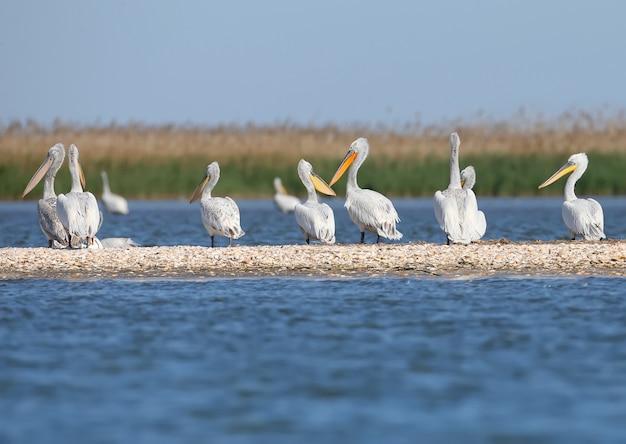 Een grote groep dalmatische pelikanen rust op een zandbank in de donaudelta, vilkovo. meestal zie je hier alleen enkele vogels.