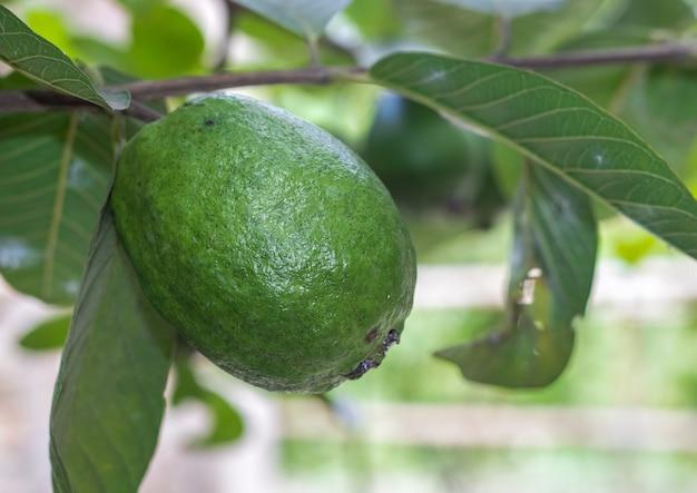 Een grote guavevrucht van dichtbij op de selectieve focus van de boom