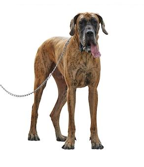 Een grote hond van de great dane die zich met leiband bevindt