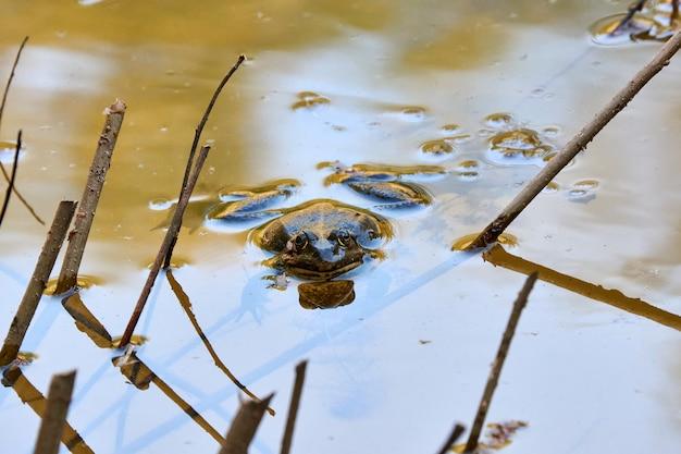 Een grote kikker rust 's middags uit de vijver. op zulke momenten veranderen vijvers en meren in hele concertzalen voor kikkerkoren.