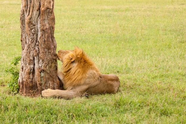 Een grote leeuw die in het gras in de weide rust