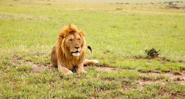 Een grote leeuw rust in het gras in de wei