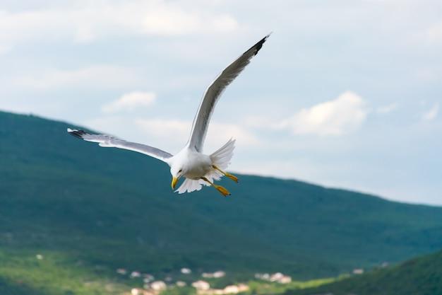 Een grote meeuw zweeft boven de adriatische zee in montenegro