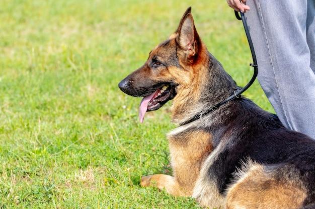 Een grote mooie herdershond zit op het gras aan de voeten van de eigenaar tijdens een wandeling in het park bij zonnig weer