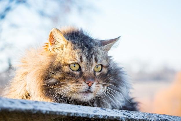Een grote pluizige kat zit in de straat tegen de zon