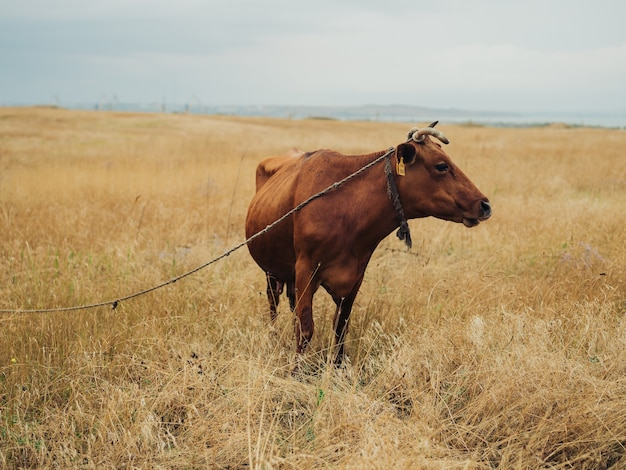 Een grote rode koe graast in een veld in de vorm van een hoornhuisdier