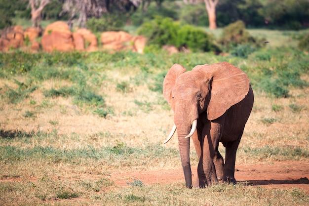 Een grote rode olifant loopt door de savanne tussen veel planten