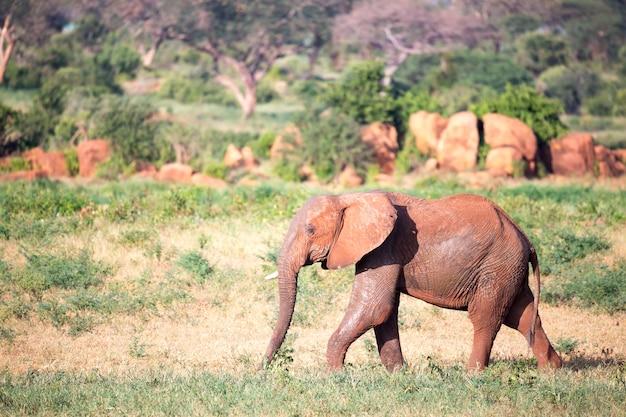 Een grote rode olifant loopt door de savanne tussen vele planten door