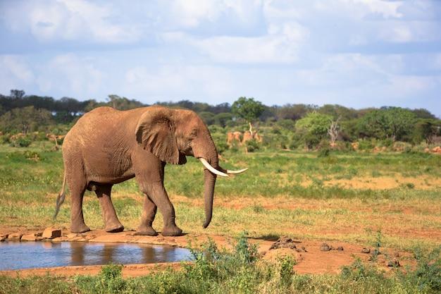 Een grote rode olifant loopt op de oever van een waterpoel