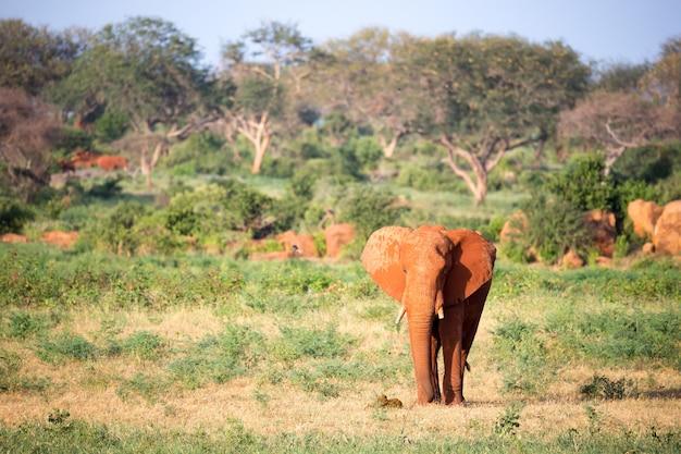 Een grote rode olifant loopt tussen de vele planten door de savanne