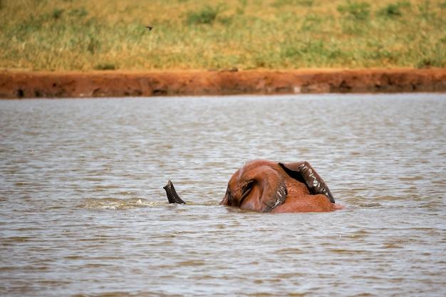 Een grote rode olifant neemt een bad in de waterpoel