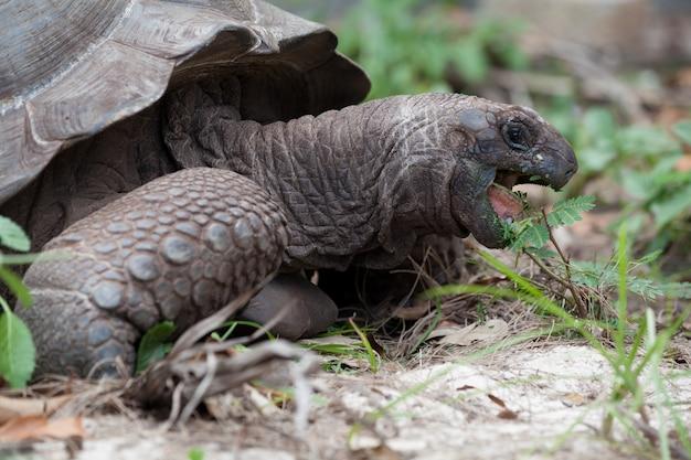 Een grote schildpad tussen het gras