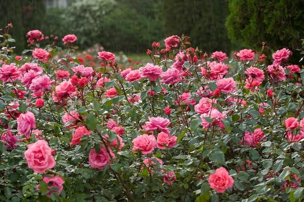 Een grote struik roze rozen in de regen