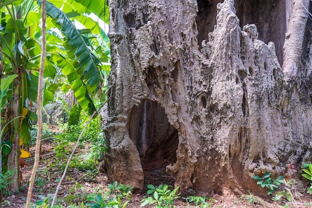 Een grote verbazingwekkende oude baobab boom op het eiland zanzibar, tanzania, afrika