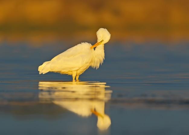 Een grote witte reiger staat op het blauwe water en maakt een veer schoon. water reflectie en wazig aanwezig