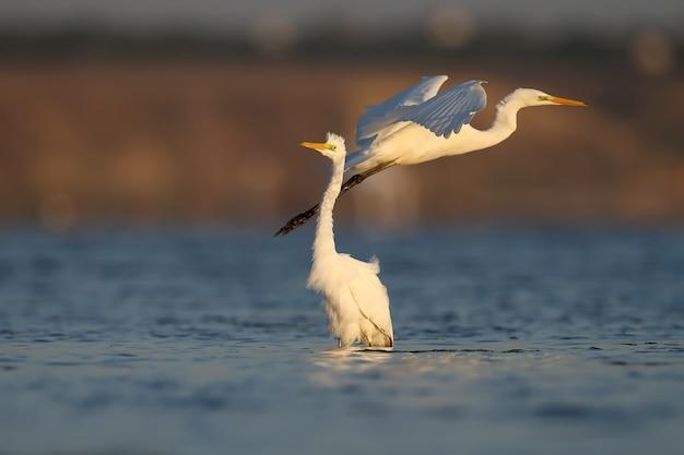 Een grote witte reiger vliegt heel dicht bij de reigers die in het water staan