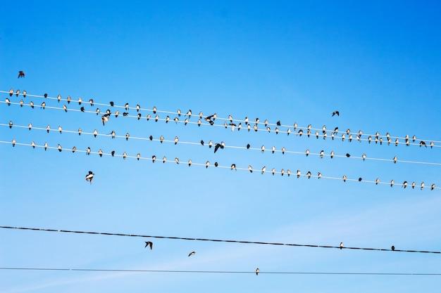 Een grote zwerm zwaluwen zit op elektriciteitsdraden