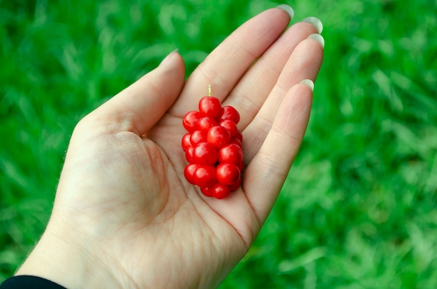 Een handvol rode citroengrasbessen in de palm van je hand. een klein handvol rijp rood citroengras in de palm van je hand in een neutrale vervaging