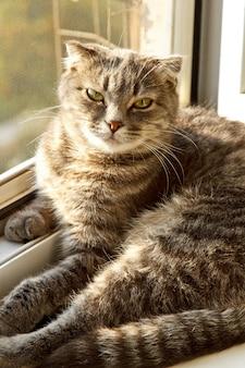 Een hangende schotse kat met grijze kleur en felgele ogen ligt op het raam.
