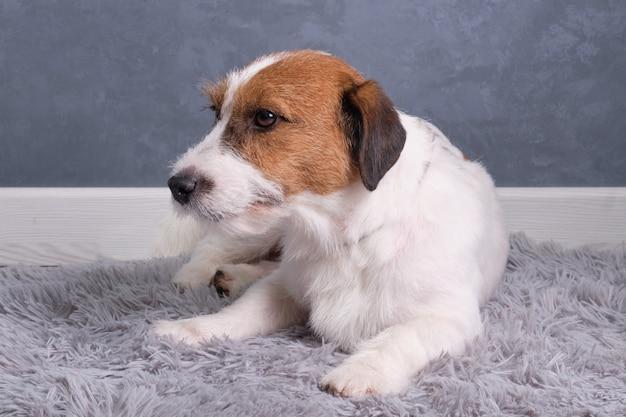 Een hardharige jack russell terrier ligt op een kleed tegen een grijze muur.