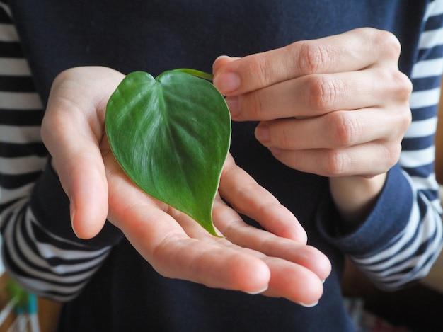 Een hart van groen blad. mooie decoratieve bladeren van philodendron-scandens. kamer bloementeelt. planten kweken.
