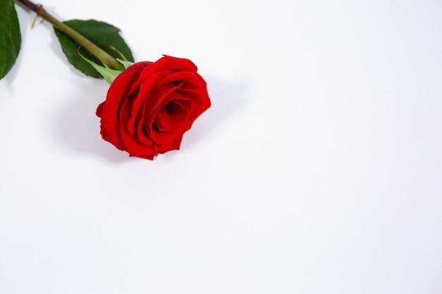 Een heldere rode roos bloeit op een witte geïsoleerde achtergrond